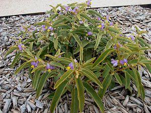 Solanum centrale - Image: Solanum centrale
