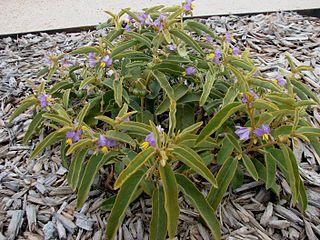 <i>Solanum centrale</i> Species of plant