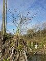 Solanum dulcamara sl7.jpg