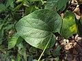 Solena amplexicaulis 05.JPG