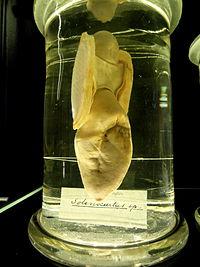 Solenocurtus sp. - Finnish Museum of Natural History - DSC04694.JPG