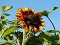 Sonnenblume (80932767).jpeg