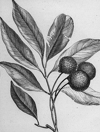 Lychee - Pierre Sonnerat's drawing from Voyage aux Indes Orientales et à la Chine (1782)