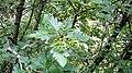 Sorbus hybrida. Mostayal híbrida.jpg