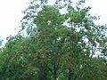 Sorbus sibirica ÖBG 09-07-16 08.jpg