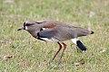 Southern Lapwing (Vanellus chilensis) (8077646901).jpg