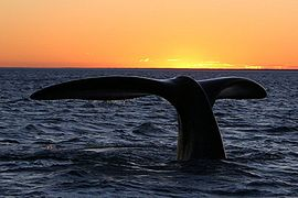 270px-Southern_right_whale10.jpg