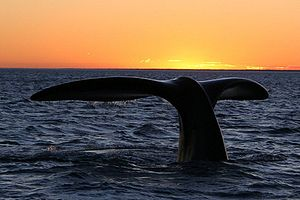 English: Southern right whale (Peninsula Valdé...