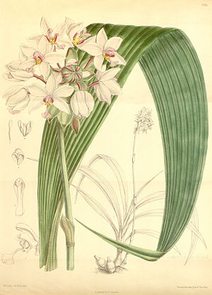 Spathoglottis - 1888 illustration of Spathoglottis plicata,  the type species of Spathoglottis