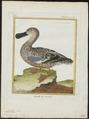 Spatula clypeata - 1700-1880 - Print - Iconographia Zoologica - Special Collections University of Amsterdam - UBA01 IZ17600481.tif