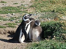как пингвины кормят птенцов в первые дни жизни