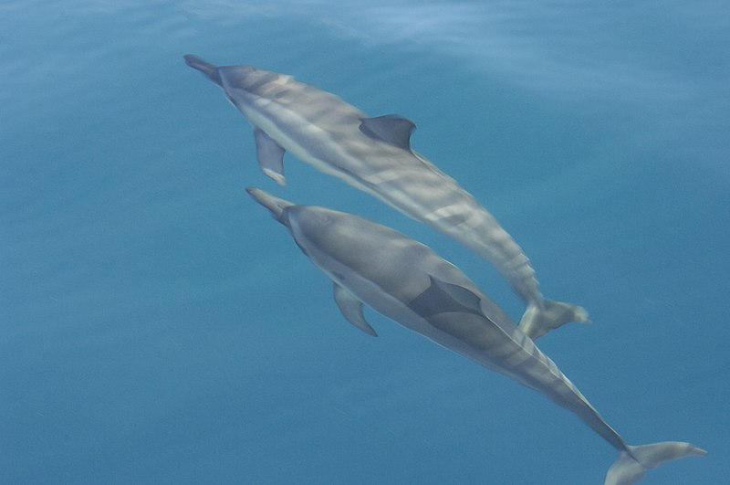 Payl:Spinner dolphins.jpg