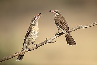 Spiny-cheeked honeyeater Species of bird
