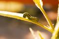 Spodoptera exigua.png