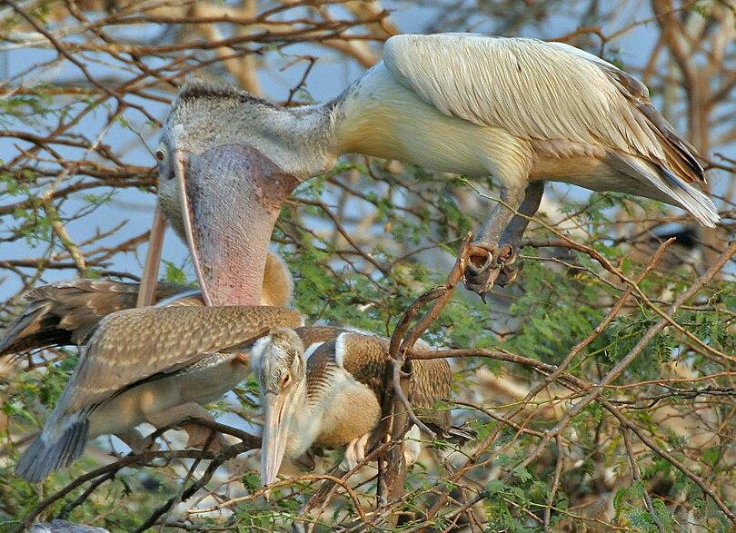 Spot-billed Pelican (Pelecanus philippensis) feeding a juvenile in Garapadu, AP W IMG 5362