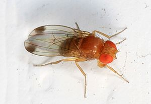 Drosophila suzukii - Image: Spotted winged Drosophila, Drosophila suzukii, Woodbridge, Virginia
