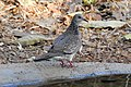 Spotted Dove Spilopelia chinensis by Dr. Raju Kasambe DSCN0689 (14).jpg