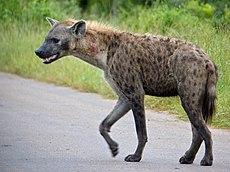 Spotted Hyaena (Crocuta crocuta) (12906099573)