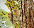 Squirrel Cuckoo Piaya cayana - Flickr - gailhampshire.jpg