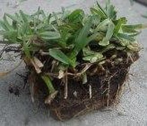 Plug (horticulture) - A plug of St. Augustine grass ready for sprigging