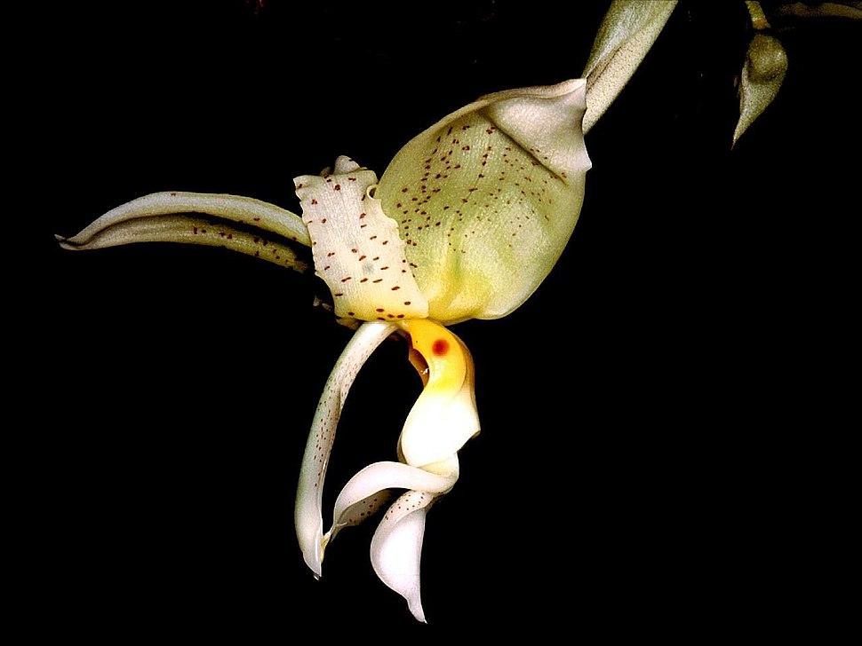 Stanhopea inodora Orchi 001