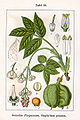 Staphylea pinnata Sturm19.jpg