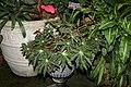 Star Begonia (Begonia heracleifolia) (3073346424).jpg