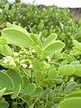 Starr-040331-0059-Senna gaudichaudii-flowers-Kanaio-Maui (24073564213).jpg