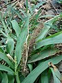 Starr-080531-4849-Setaria verticillata-leaves and seedhead-Halsey Dr around residences Sand Island-Midway Atoll (24543244699).jpg