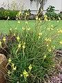 Starr-090417-6183-Bulbine frutescens-flowering habit-Pukalani-Maui (24858946121).jpg