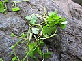 Starr-090702-2019-Hydrocotyle sibthorpioides-plant-Chings Pond Hana Hwy-Maui (24672822450).jpg