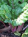 Starr-090801-3527-Beta vulgaris subsp cicla-habit in garden-Olinda-Maui (24343989063).jpg