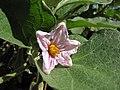 Starr-091108-9421-Solanum melongena-flower Black Beauty globe-Olinda-Maui (24895999811).jpg