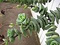 Starr-110218-1568-Crassula perforata-flowering habit-Ulana St Makawao-Maui (24983427111).jpg