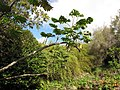 Starr-110307-1990-Tetrapanax papyrifer-habit-Kula Botanical Garden-Maui (24781763660).jpg