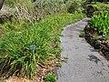 Starr-110307-2286-Hemerocallis flava-habit-Kula Botanical Garden-Maui (24959791552).jpg