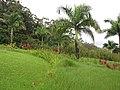 Starr-110330-3601-Roystonea regia-habit-Garden of Eden Keanae-Maui (24449828884).jpg