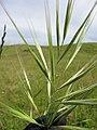 Starr-110502-5297-Bromus diandrus-seedheads-Kula-Maui (25094195995).jpg