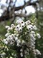 Starr-110609-6152-Erica lusitanica-leaves and flowers-Shibuya Farm Kula-Maui (24978653292).jpg