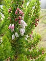 Starr-110705-6592-Erica lusitanica-flowers and leaves-Waiale Gulch-Maui (25004688891).jpg