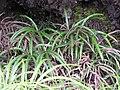Starr-110705-6753-Pteris cretica-habit-Waiale Gulch-Maui (24980137982).jpg