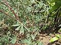 Starr-120522-6704-Lupinus sp-leaves-Iao-Maui (25050868151).jpg