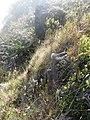 Starr-121018-1070-Dubautia sp-scabra hybrid habit along wall-Supply Trail HNP-Maui (24563821504).jpg