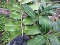 Starr-130319-3141-Cupaniopsis anacardioides-leaves undersides and tops-Kilauea Pt NWR-Kauai (24841051999).jpg