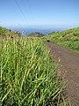 Starr-130709-5719-Cyperus sp-habit-Ulupalakua Ranch-Maui (24589640664).jpg