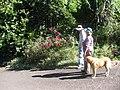 Starr-140624-4597-Rosa chinensis-CV Lokelani flowering habit with Forest Gordeen and dog-Kekaulike Ave Kula-Maui (25243494255).jpg