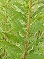 Starr-140930-2066-Solidago canadensis-leaves-Keokea-Maui (24616150964).jpg