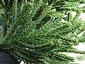 Starr-150330-0496-Juniperus bermudiana-needles-Near Marine Barracks Sand Island-Midway Atoll (25270819055).jpg
