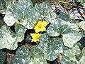Starr-170616-0462-Cucurbita maxima-flower leaves fruit Kabocha like-Community Garden Sand Island-Midway Atoll (35552419303).jpg