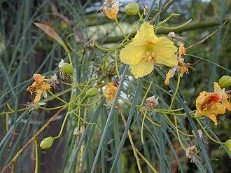 Parkinsonia - Flowers and leaves of Parkinsonia aculeata